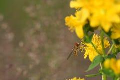 Hoverfly (balteatus de Episyrphus) en Hypericum florece Imagen de archivo