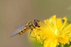 Hoverfly (balteatus de Episyrphus) en Hypericum florece Foto de archivo libre de regalías