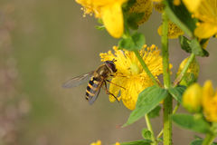 Hoverfly (balteatus de Episyrphus) en Hypericum florece Fotos de archivo