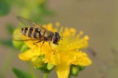 Hoverfly (balteatus de Episyrphus) en Hypericum florece Imágenes de archivo libres de regalías