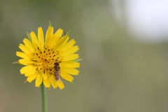 Hoverfly (balteatus de Episyrphus) en la flor amarilla (Crepis vesicar Imagen de archivo