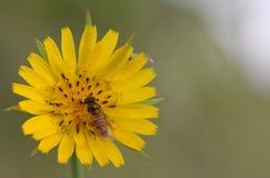 Hoverfly (balteatus de Episyrphus) en la flor amarilla (Crepis vesicar Fotografía de archivo libre de regalías