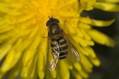 Hoverfly Bessenbandzwever, Syrphus ribesii royaltyfri bild