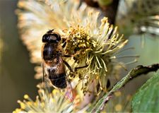 Hoverfly in Bestäubungsraserei, in Norfolk Broads stockfotos