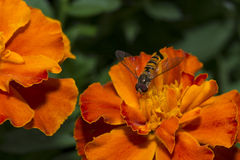 Hoverfly bi på blomningmakro Royaltyfri Fotografi