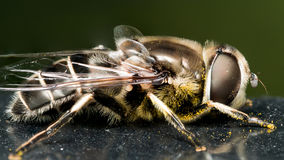 Hoverfly on black paint with pollen Royalty Free Stock Photos