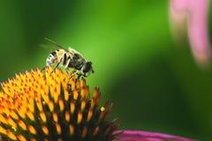 Hoverfly, bloemvlieg, syrphid vliegt Eupeodes luniger verzamelt nectar van de roze bloem Karikatuur van wespen en bijen Grote det Royalty-vrije Stock Foto's