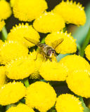 Hoverfly on blooming common tansy, macro, selective focus Royalty Free Stock Image