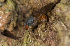 Hoverfly (Brachyopa insensilis) Royalty Free Stock Images