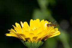 Hoverfly Calendula Obraz Stock