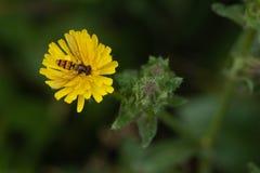 Hoverfly che mangia polline dalla pianta gialla immagini stock libere da diritti