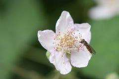 Hoverfly che si alimenta polline dal fiore immagini stock libere da diritti