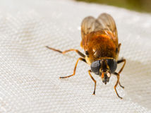 Hoverfly, Cheilosia chrysocoma, female, front view, sitting on a insect net Royalty Free Stock Photo