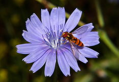 Hoverfly on chicory. Hoverfly on a  blue flower chicory Stock Photo