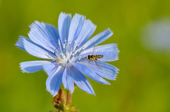Hoverfly on chicory Royalty Free Stock Photos