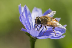 Hoverfly in Chicory Flower Royalty Free Stock Images