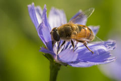 Hoverfly in Chicory Flower Royalty Free Stock Image