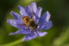Hoverfly in Chicory Flower Royalty Free Stock Photo