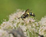 Hoverfly - Chrysotoxum bicinctum Royalty Free Stock Photography