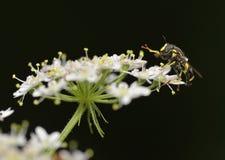 Hoverfly - Chrysotoxum bicinctum Royalty Free Stock Image