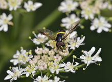 Hoverfly - Chrysotoxum bicinctum Stock Images