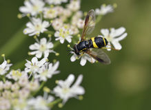 Hoverfly - Chrysotoxum bicinctum Stock Photography