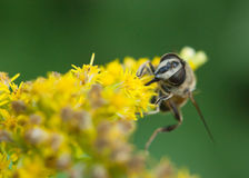 Hoverfly close up Royalty Free Stock Photo