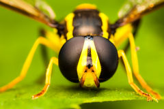 Hoverfly close up Stock Image