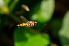Hoverfly Royalty Free Stock Images