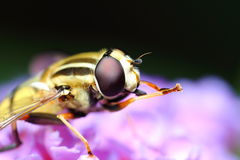 Hoverfly Stock Photo