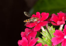 Hoverfly Royalty Free Stock Photo