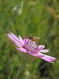 Hoverfly collecting nectar from immortelle Royalty Free Stock Image