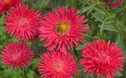 Hoverfly collecting nectar. Syrphid fly, hoverfly, foraging on a pink aster flower Stock Images