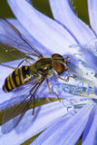Hoverfly collecting Pollen Royalty Free Stock Images