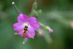 Hoverfly Collecting Pollen From Purple Plant. Close up photo of hoverfly collecting pollen from a purple wild flower Royalty Free Stock Photo