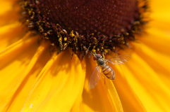 Hoverfly on coneflower Royalty Free Stock Photo
