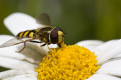 Hoverfly on daisy blossom. German Syrphidae are commonly known as hoverflies, flower flies, or Syrphid flies Stock Photo