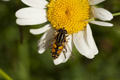 Hoverfly on daisy Royalty Free Stock Photo