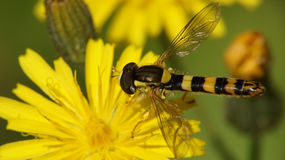 Hoverfly dandelion stock images