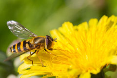 Hoverfly on dandelion. Close-up of a hoverfly on dandelion Royalty Free Stock Photo