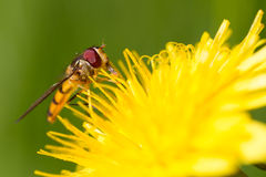 Hoverfly on dandelion. Close-up of a hoverfly feeding on dandelion Royalty Free Stock Image