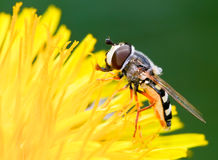 Hoverfly on a Dandelion Royalty Free Stock Photography