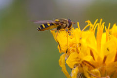 Hoverfly on a Dandelion Flower royalty free stock images