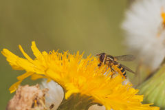 Hoverfly on Dandelion royalty free stock photos