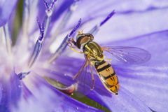 Hoverfly dans le bleu Photo stock