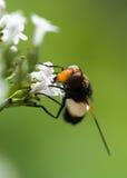 Hoverfly, das auf allgemeinen Baldrian einzieht Stockbilder