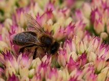 Hoverfly, das auf Blütenstaub einzieht Lizenzfreies Stockbild