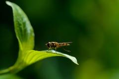 Hoverfly, das auf einem Hartriegelblatt stillsteht Stockbild