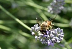 Hoverfly, das auf Lavendel einzieht Lizenzfreie Stockfotos