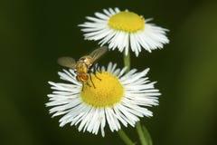 Hoverfly, das eine Gänseblümchenblume in Süd-Windsor, Connecticut besucht Stockfotografie